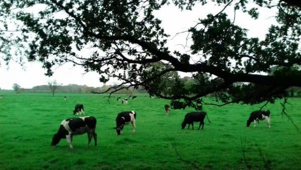 Des vaches anglaises