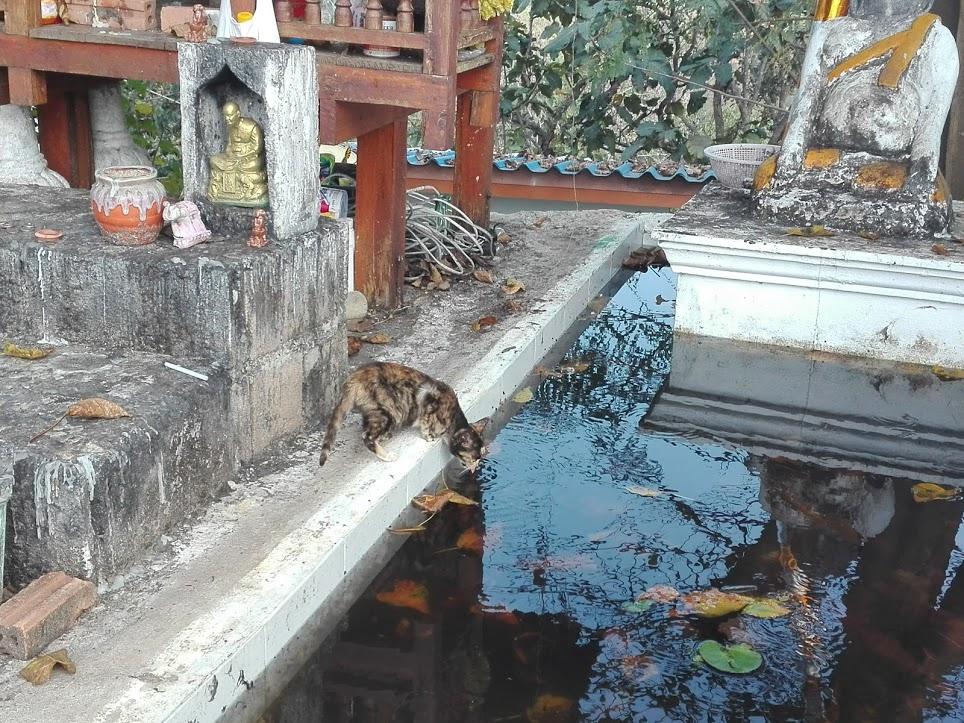 chat en Thaïlande