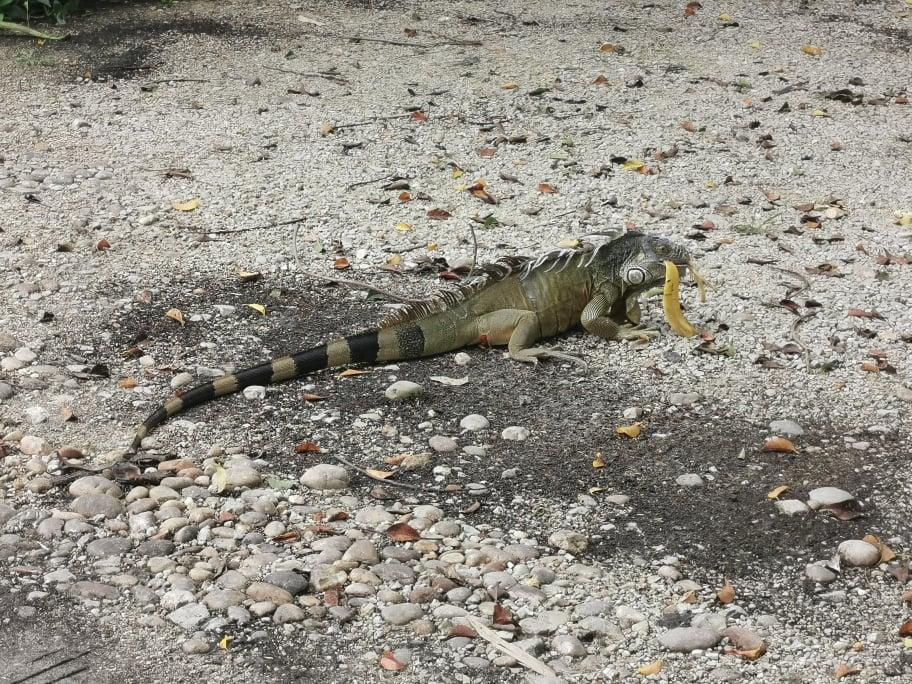 iguane dans jungle mexicaine