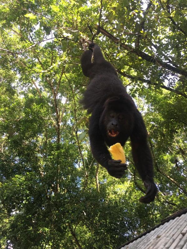 singe qui mange banane