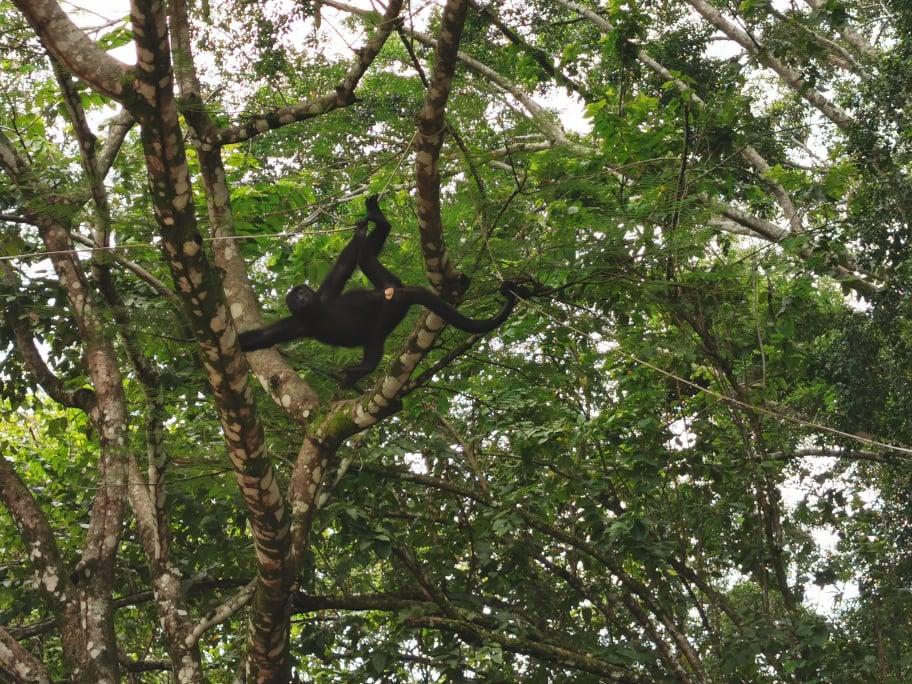 singes hurleur mexique